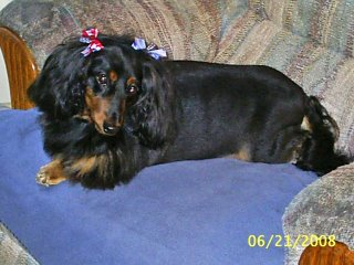 Delcotimes blogs photos around delco dog grooming have designed a new look for those who own long haired dachshunds the lion cut makes this hot dog quite cool as sparkie struts her new doo around the winobraniefo Gallery