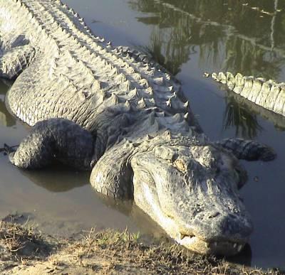 What are crocodilians? Alligator-sunning-747119